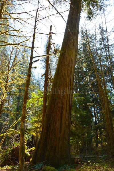 Large Red Cedar on Vancouver Island