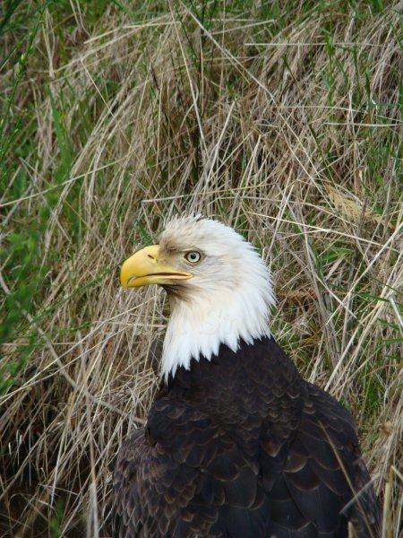 Bald Eagle From the Comox Valley