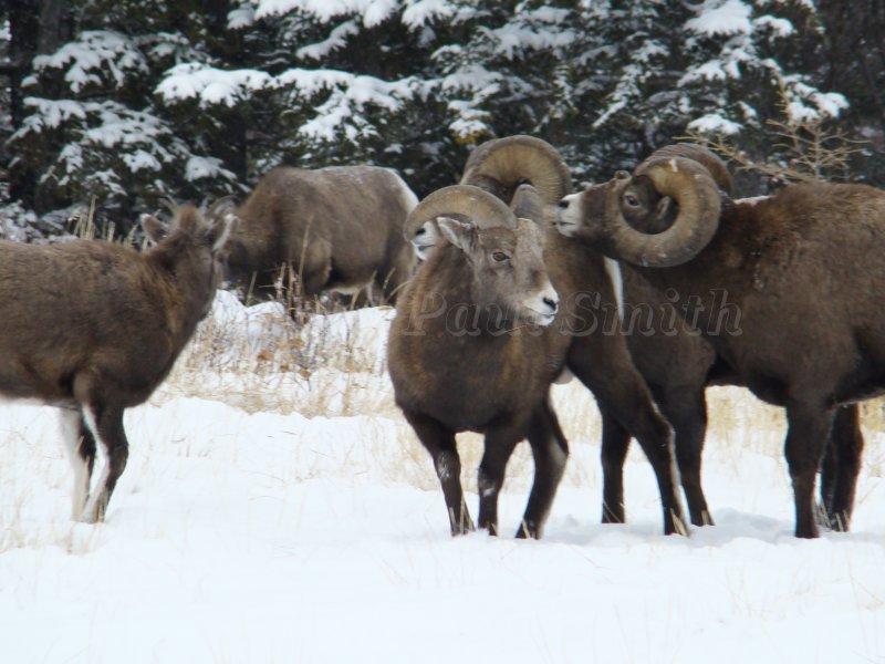 Big Horn Sheep in Jasper National Park