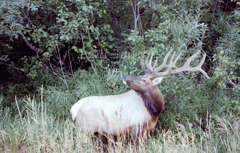 Bull Rocky Mountain Elk in Jasper National Park