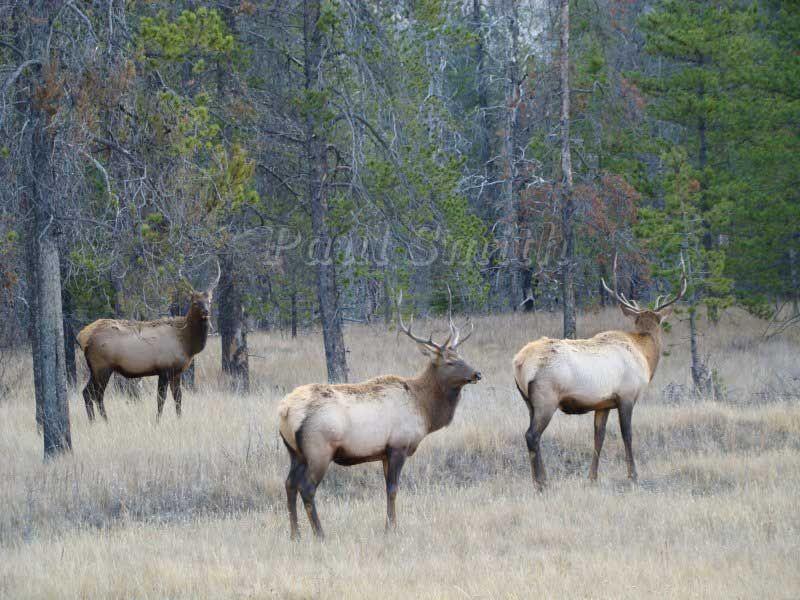 Rocky Mountain Elk in Jasper National Park
